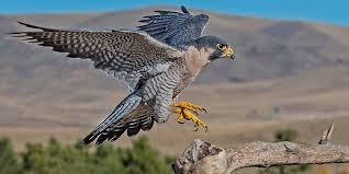 How Peregrine Falcons are Helping the Drone War